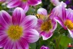 Otra mariposa que en la flor se posa
