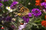 Otra mariposa, pero con menos rosa